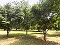 Garcinia kola - Plant 2.jpg
