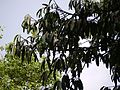 Garcinia xanthochymus (4631454650).jpg