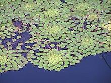 Garden lilypads.jpg