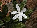 Gardenia scabrella2.jpg