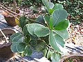 Gardenology.org-IMG 7233 qsbg11mar.jpg