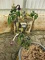 Gardenology.org-IMG 7644 qsbg11mar.jpg