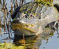 Gator at Lake Woodruff - Flickr - Andrea Westmoreland.jpg
