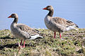Geese - Fowlmere March 2010 (4444228660).jpg