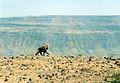 Gelada Baboon, Debre Libanos, Ethiopia, 2001 - panoramio.jpg