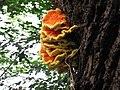Gemeiner Schwefelporling - Laetiporus sulphureus.jpg