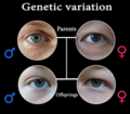 Genetic variation.png