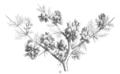 Geoffroea decorticans Taub103b.png
