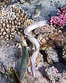 Geometric moray, Gymnothorax griseus, Перечная мурена..DSCF6023WI.jpg