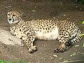 Gepard 01.JPG