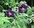 Geranium phaeum MHNT.jpg