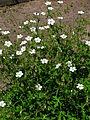 Geranium richardsonii 01.JPG