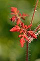Geranium robertianum - haisev kurereha (leht).jpg