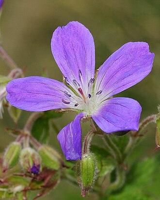 Geranium sylvaticum - Flower detail
