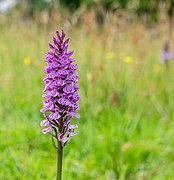 Gevlekte orchis. Orchis (Dactylorhiza maculata subsp. Maculata) 05.jpg
