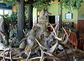 Gfp-pennsylvania-wolf-standing-over-many-slain-elk.jpg