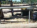 Ghi, pettingzoo (school pecock at small horse range)3.jpg