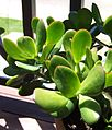 Giant Jade leaves3.jpg