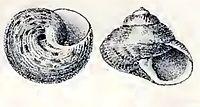 Gibbula benzi 001.jpg