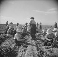Gila River Relocation Center, Rivers, Arizona. Evacuee farmers harvesting spinach at this relocatio . . . - NARA - 538585.tif