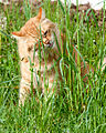 Gillie in the grass (7203113272).jpg