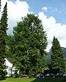 Ginkgobaum beim Rathaus.JPG