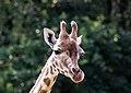 Giraffa - Serengeti-Park Hodenhagen 2017 02.jpg