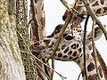 Giraffe (39580950550).jpg