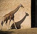 Giraffe (41152692100).jpg