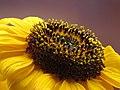 Girasol (Helianthus annuus) - Flickr - Alejandro Bayer (3).jpg