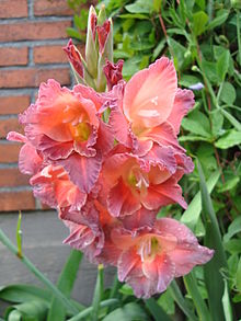 List Of Gladiolus Cultivars Wikipedia