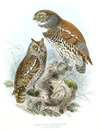 1846 in birding and ornithology - Image: Glaucidium Castanonotum Legge