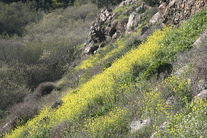 Glen Canyon Park - Spring in Glen Canyon Park. Field mustard in flower clings to the stony canyon walls; Islais Creek and its willow thickets lie at their base.