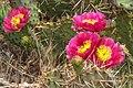 Glen Canyon area - more desert wildflowers - (19488327994).jpg