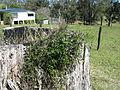 Glycine clandestina plant10 (15099744598).jpg
