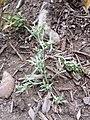 Gnaphalium uliginosum sl11.jpg