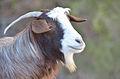 Goat-Batinah.jpg