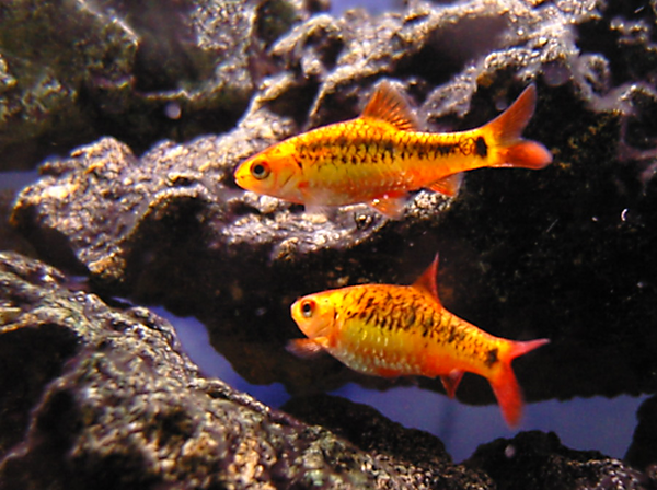 Cold water aquarium fish for Cold freshwater fish