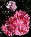 Golden Gate Park Rose Garden 5.jpg