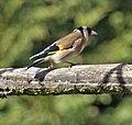 Goldfinch (4465046506).jpg