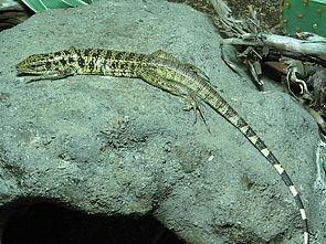 Goldteju (Tupinambis teguixin)