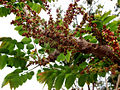 Gooseberry tree.jpg