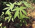 Gossypium arboreum 01.JPG