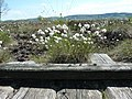 Gräser im Großen Torfmoor.jpg