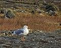 Gråtrut European Herring Gull (31156250523).jpg