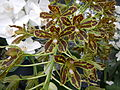 Grammatophyllummultiflorumjf9215 05.JPG