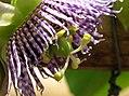 Granadilla (Passiflora ligularis) - Flickr - Alejandro Bayer (3).jpg