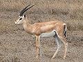 Grant's Gazelle taxobox.jpg