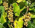 Grapes in Chateaux Luna vineyard 4.jpg
