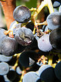 Grapes in the Vineyard at Brix in Napa, California - A - Stierch.jpg